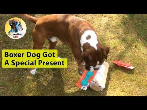 Boxer Dog Got A Special Present ❤️