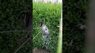 Destruction d'un nid de frelons asiatiques à Baurech