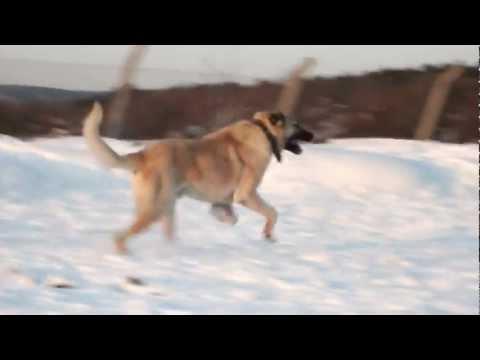 BOZ SHEPHERD DOGS @ PLAY