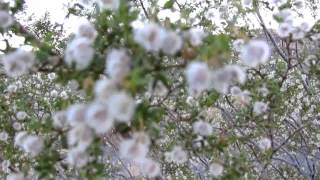 A CURE FOR CANCER?  CHAPARRAL HERB (GREASEWOOD)
