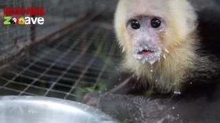 Mono carablanca bebé huerfano
