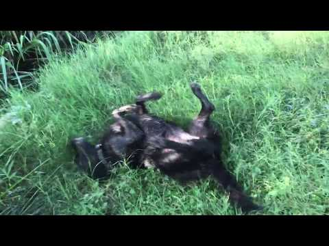 Dog goes crazy swimming - San Antonio River
