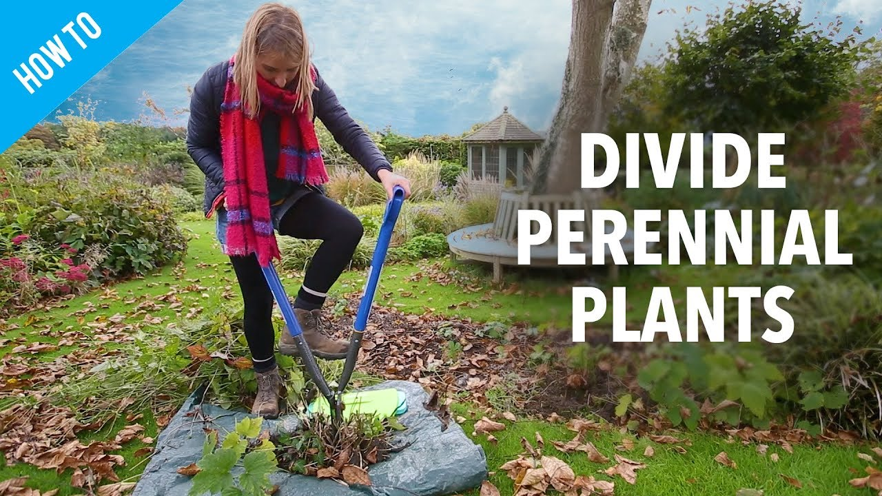 How To Divide Perennial Plants Youtube