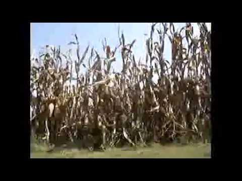 Corn Video  - Farm by Adam Selzer