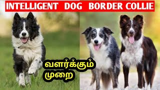 Dog Lovers | Border collie dog தமிழ் | Intelligent Dog Breed | Pet Lovers