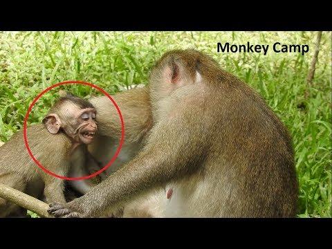 Baby monkey cry cuz want breastfeeding, Big monkey but still breastfeeding, Mum hit baby monkey