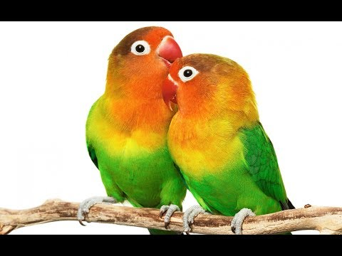 Easy Way to Define the Sex of a Lovebird