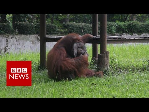 Indonesian orangutan smokes a cigarette thrown by zoo visitor - BBC News