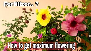 How to get maximum flowering on rose plant , Hibiscus, Bougainville and all other flowering plants