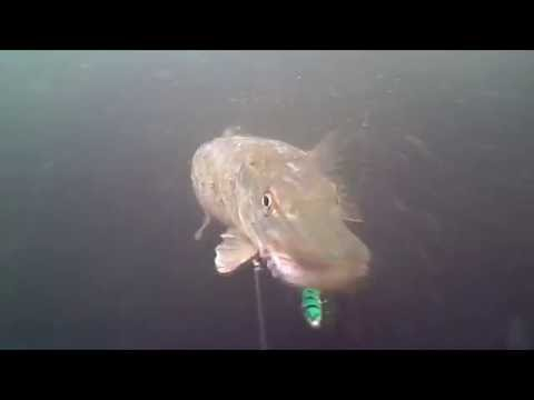 Lough Corrib underwater /pike attack real eel