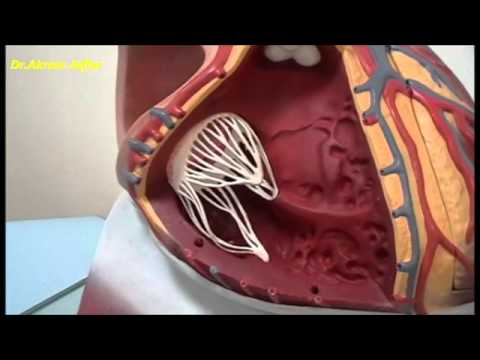 External and internal features of the heart - plastic model