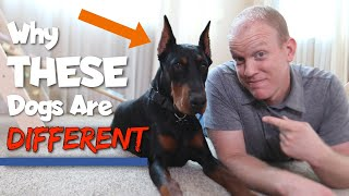 6 Ways Dobermans Are Different From Other Dogs