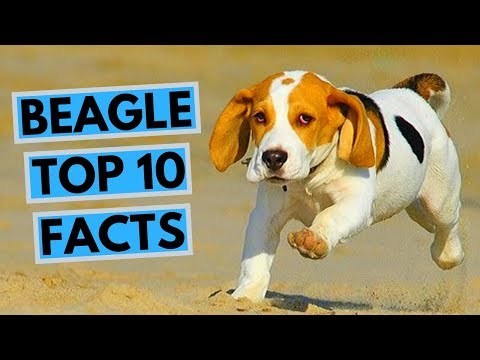 Beagle TOP - 10 Interesting Facts