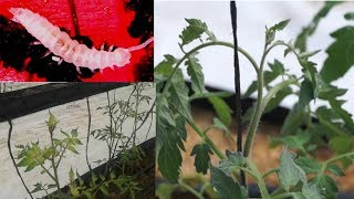 Symphyla una plaga de los cultivos de tomate y pimentón