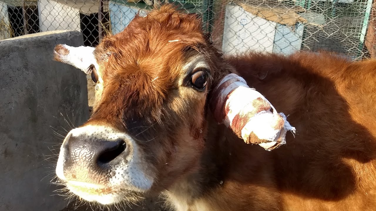 warts treatment in cows