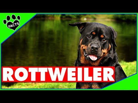Top 10 Rottweiler Facts Dogs 101