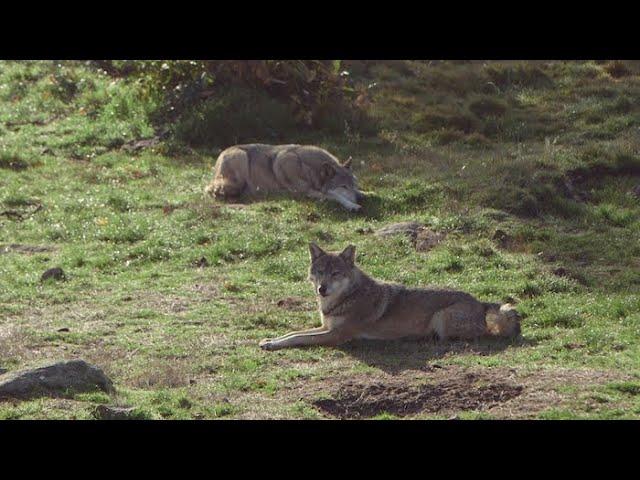 Le parc animalier des monts de Guéret, nouveau territoire des loups