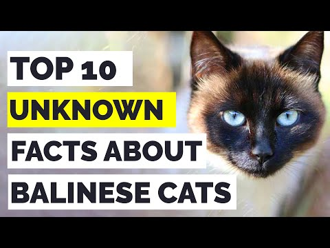 Balinese Cats : Top 10 Amazing Facts About Balinese Cats That Will Leave You Amazed!