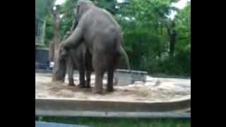rozmnazanie słoni