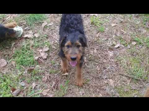 Airedale Terrier Puppies For Sale Learning That Fire Is Hot On April 15, 2018