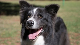 All you need to know about Border Collies, Tales with Tails, Episode 5