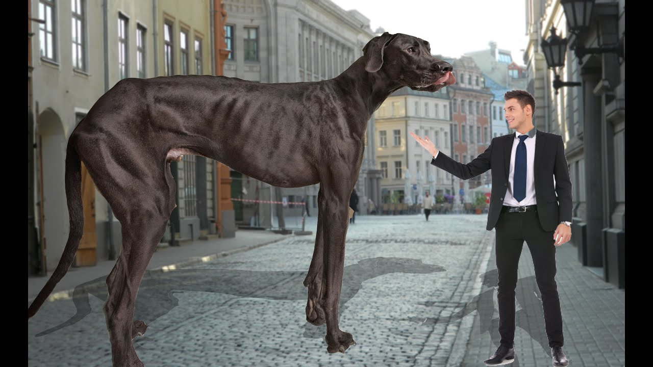 Tallest dog in the world - photo#6