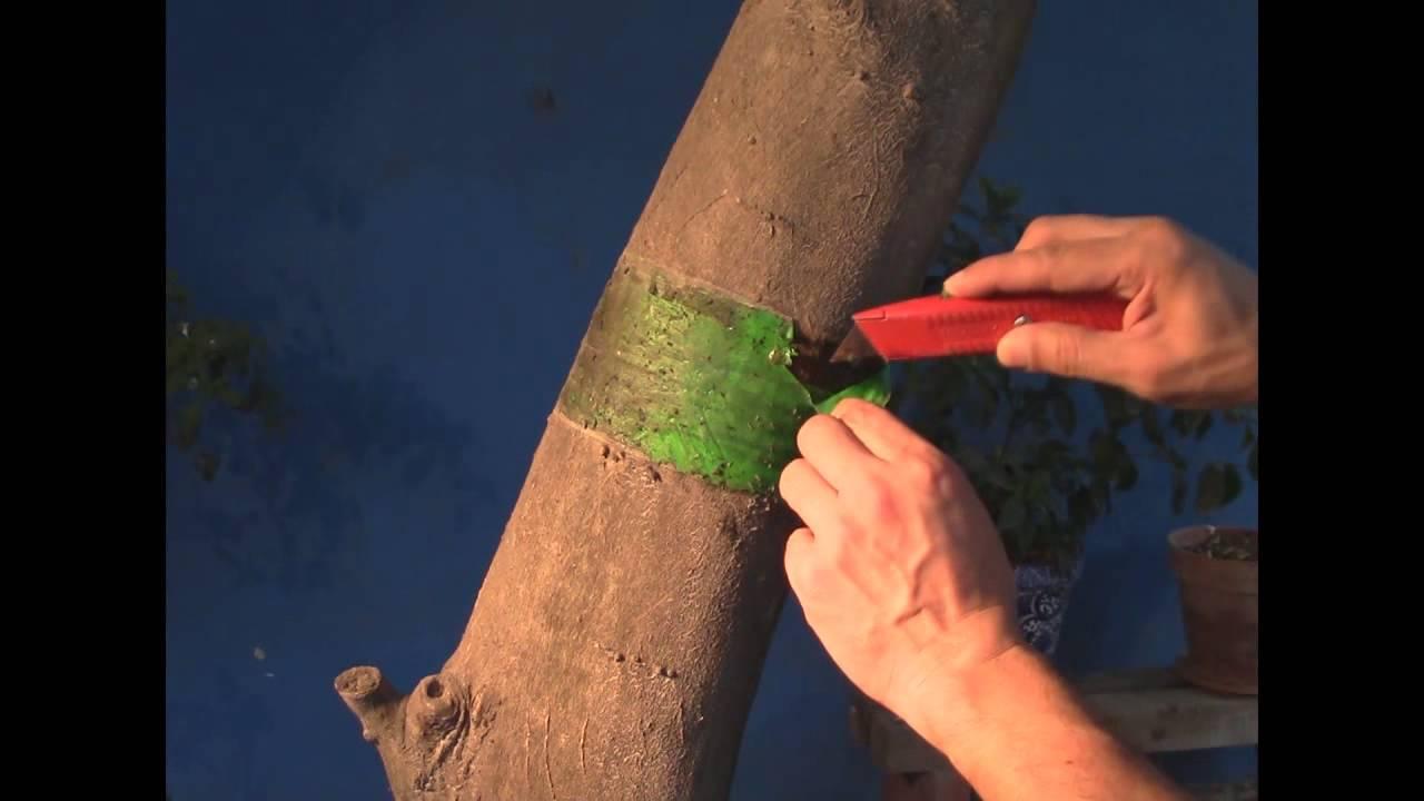 Como eliminar o controlar plaga y hormigas en arboles