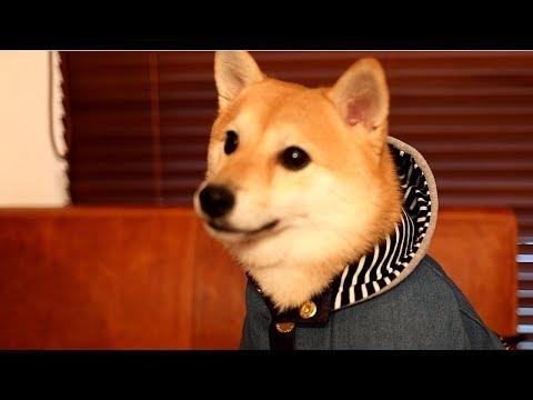 新しいお洋服を完璧に着こなしフリーズする柴犬
