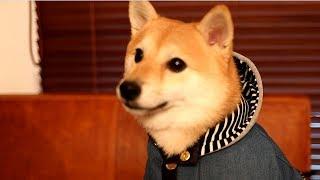 新しいお洋服を完璧に着こなしフリーズする柴犬 thumbnail