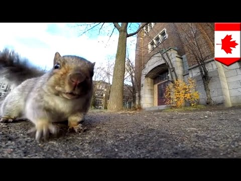 Squirrel steals GoPro camera baited with bread and takes it up a tree in Montreal, Canada