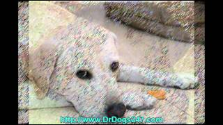 Ear Infection In Labrador Retrievers.mp4