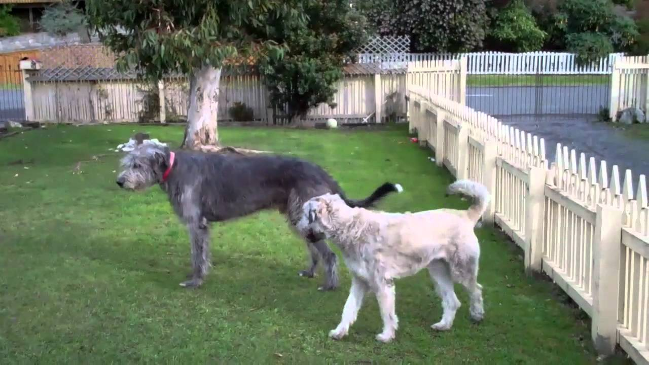 Our Two Dogs Doogan Irish Wolfhound Too Giant