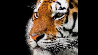 """""""Big Tiger Love In Japan"""""""