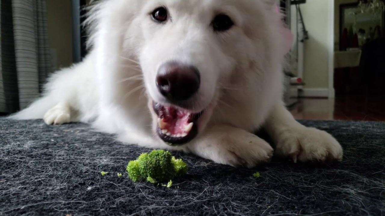 Lil floof snaccin on broccoli - Nukka the Samoyed