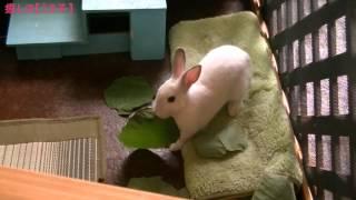 葛(くず)の葉がたくさんある!! 今日も「ウサギのジュディ」に癒される.