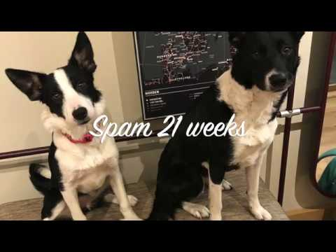 Border Collie Puppy Spam 21 Weeks. Training For Agility And Life.