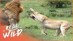 Predators In Peril [Big Cat Documentary] | Real Wild