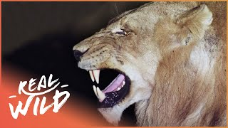 Predators In Peril [Big Cat Documentary] | Wild Things