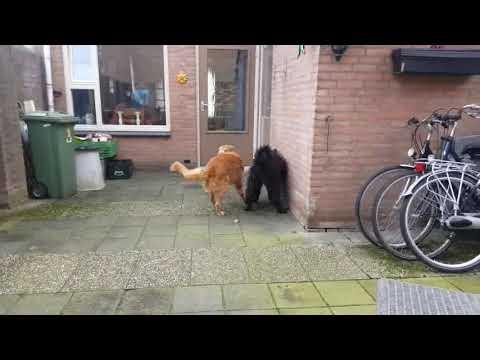 Bouvier des Flandres vs Golden Retreiver