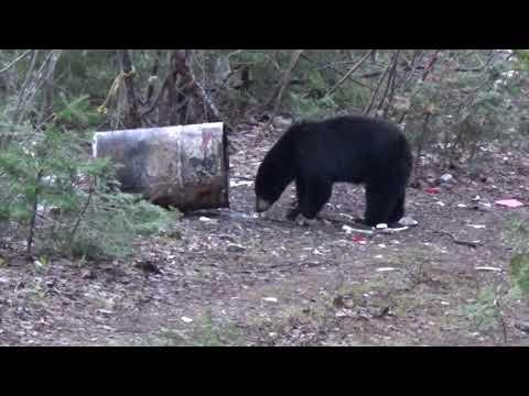 Bear Hunting New Brunswick Spring 2019