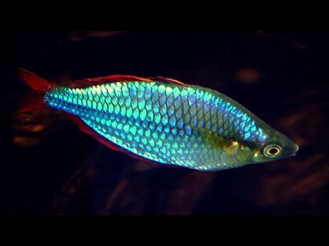 BEST BEGINNER RAINBOWFISH - Dwarf Neon Rainbowfish
