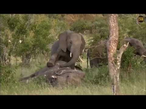 SafariLive March 26 - The badly wounded elephant died...
