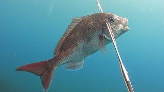 17時半入水。夕暮れの魚突き。キジハタは少な目でしたが真鯛が寄って...