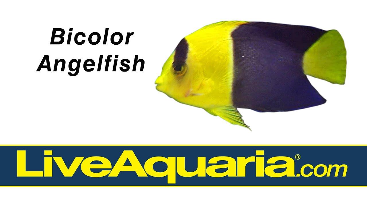 Bicolor Angelfish Centropyge Bicolor Liveaquaria Com Youtube