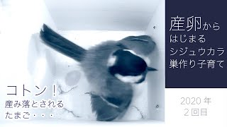 Nest-building and parenting of Japanese tit (Parus minor) starting from spawning