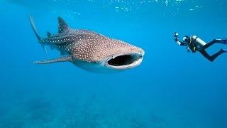 видео Как мы плавали с китовыми акулами