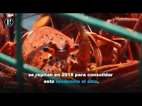 Baja California Sur, potencia exportadora de langosta roja