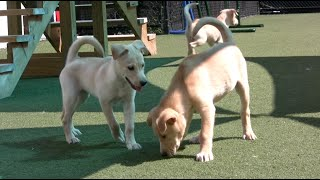 Cute Golden Retriever Puppies - Playtime At The Shelter