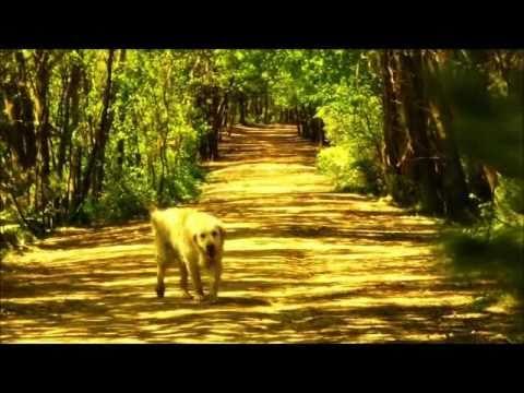 Golden Retriever - The best dog breed