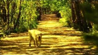 Golden Retriever - The Best Dog Breed